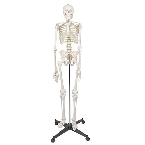 ZENY Life Size 70.8' Human Skeleton Model Medical Anatomical with Rolling Stand, Removable and Movable Parts (6FT)