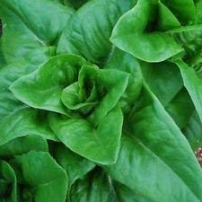 MIYU 100 Organic Amish Deer Tongue Leaf Lettuce Seeds -Heavy Production