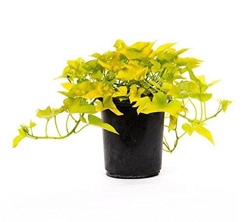 AMERICAN PLANT EXCHANGE Sweet Potato Vine Live Plant, 6' Pot, Desana Lime