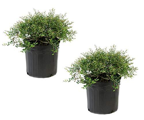 Cottage Hill Holly Dwarf Yaupon - 2 Piece Live Plant, Green
