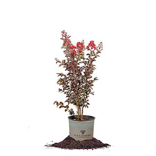 Perfect Plants Best Red Black Diamond Crape Myrtle Live Plant, 3 Gallon, Includes Care Guide