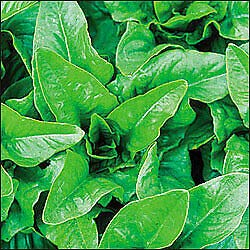 Lettuce Deer Tongue Amish Green 5,000 (WGW) Seeds