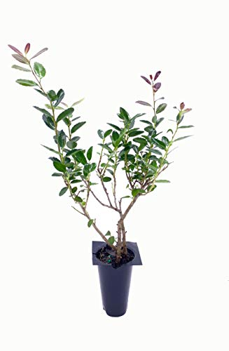 Ilex Schilling Stokes Dwarf Yaupon Holly Vomitoria - 72 Fully Rooted Live Plants Evergreen Hedge