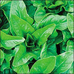 Lettuce - Leaf Deer Tongue Amish Green 5,000 seeds