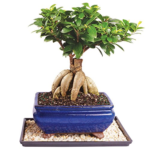 Brussel's Live Gensing Grafted Ficus Indoor Bonsai Tree - 7 Years Old; 10' to 16' Tall with Decorative Container, Humidity Tray & Deco Rock