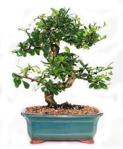 Indoorbonsaiandexotics Fukien Tea Bonsai Tree in 6inch Glazed Pot