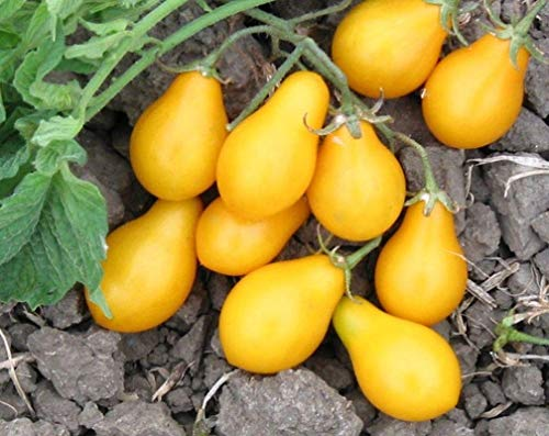 Fargo Tomato Seeds - long golden yellow pear shaped tomatoes!!!!(50 - Seeds)