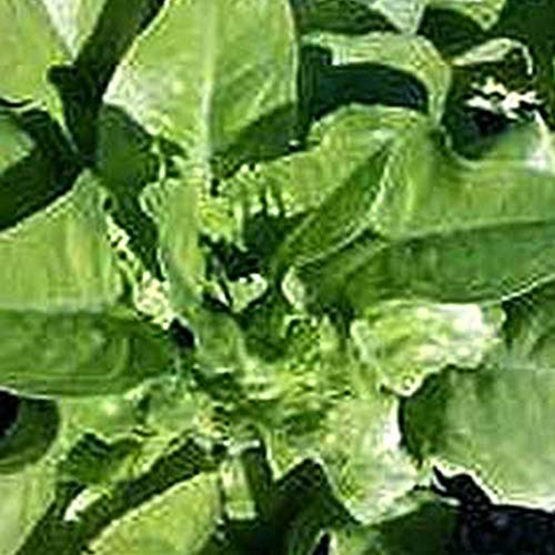 Organic Amish Deer Tongue Lettuce - 500 mg ~300 Seeds - Organic, Heirloom, Open Pollinated, Non-GMO, Farm & Vegetable Gardening Seeds