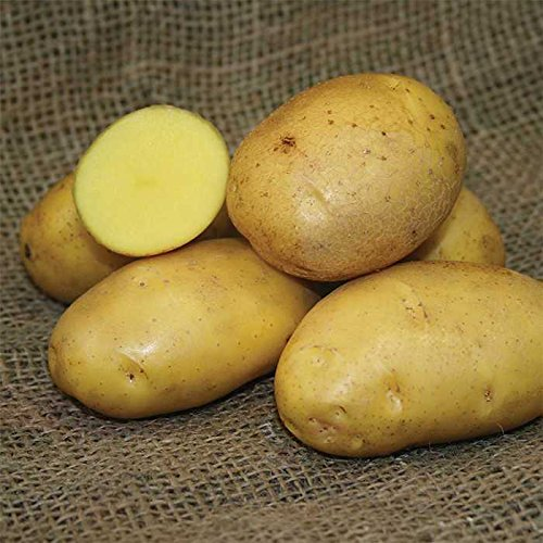 SEED POTATOES - 1 lb German Butterball Organic Grown Non GMO Virus & Chemical Free Ready for Spring Planting