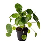 AMERICAN PLANT EXCHANGE Pilea Peperomiodes Chinese Money Easy Care Live Plant, 6' Pot, Adorable Indoor Air Purifier