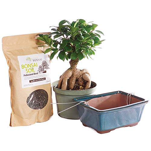 Brussel's Bonsai Live Gensing Grafted Ficus Indoor Bonsai Tree PIY Bundle - 6 Years Old 8' to 12' Tall with Soil & Decorative Container, Medium
