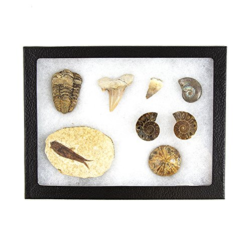Museum Quality Fossil Collection Kit Featuring Dinosaur Fossils, Ammonites, Trilobite, Shark Tooth, Urchin and Fish Fossil - Collectors Edition Paleontology Set