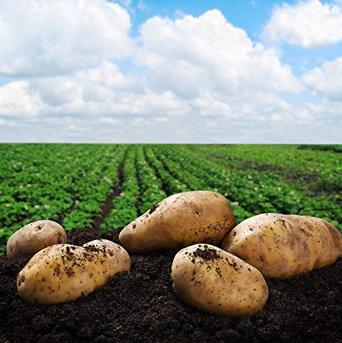 SEED POTATOES - 5 lb Yukon Gold Organic Grown Non GMO Virus & Chemical Free Ready for Spring Planting