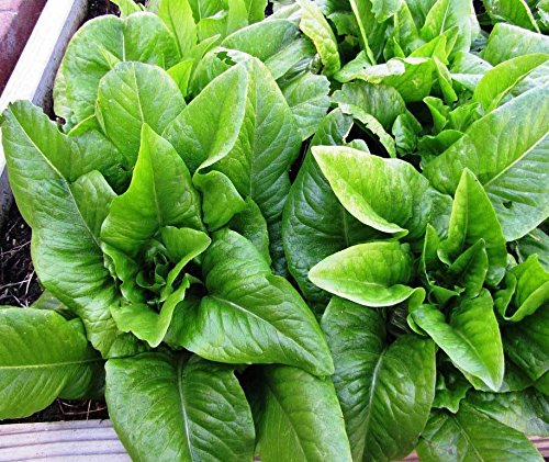 Lettuce Seed: Amish Deer Tongue Lettuce Seeds Fresh 1300 + Seeds Fresh Seed