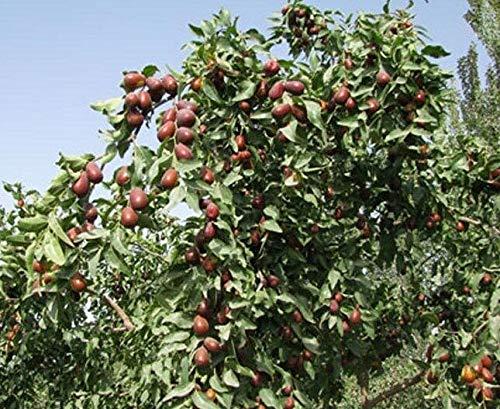 Ziziphus Jujuba Jujube Fruit Tree 5 Seeds!-Ship from US by US Seller.