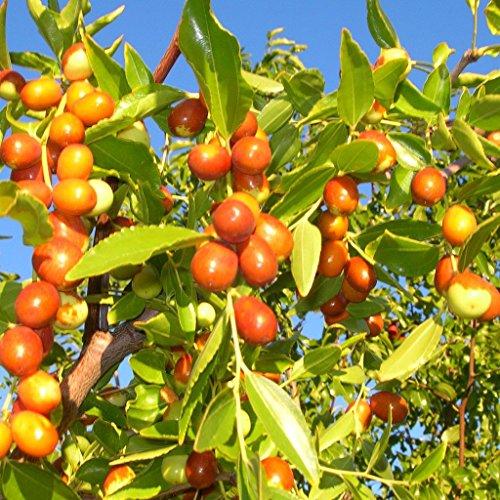 Chinese Jujube Seeds (Ziziphus Jujuba) 5+ Heirloom Berry Plant Seeds